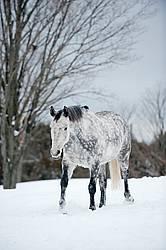 Gray horse walking in deep snow.