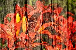 Multiple exposure of red lillies on barn boards