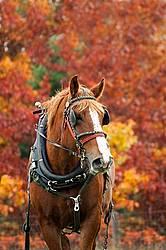 Portrait of a Belgian draft horse in harness