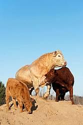 Charolais bull and Angus cow