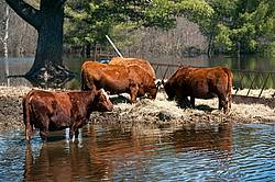 Beef Cows in Flooded field