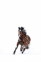 Horse galloping through deep snow during a snow storm