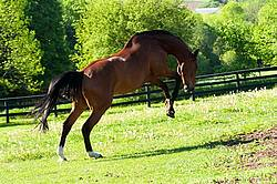 Dutch Warmblood and Thoroughbred cross gelding