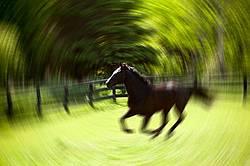 Hanoverian horse galloping around his paddock