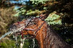 Standardbred mare gettng hosed down