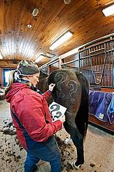 Woman drawing a design on a horse butt