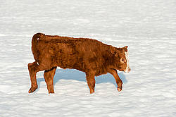 Cute beef calf walking in the snow
