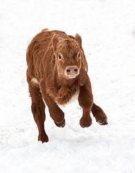 Crazy Calf Running
