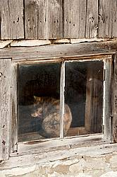 Calico barn cat sitting in barn window grooming itself