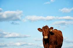 Beef Cow with Sky background