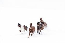 Herd of horses running through deep snow