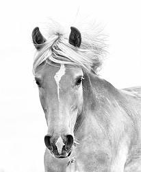 Portrait of Haflinger horse