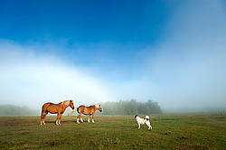 Chestnut horse standing in field in the fog