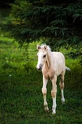 Rocky Mountain horse foal