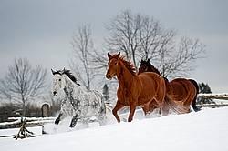Three horses galloping in deep snow