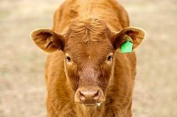 Beef Calf