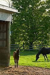 quarter horse foal in paddock
