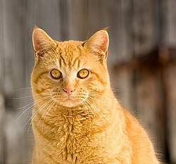 Portrait of an orange cat.
