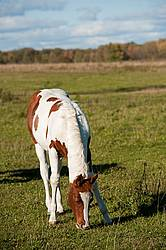 Portrait of young paint foal