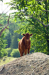 Beef calf standing on hill