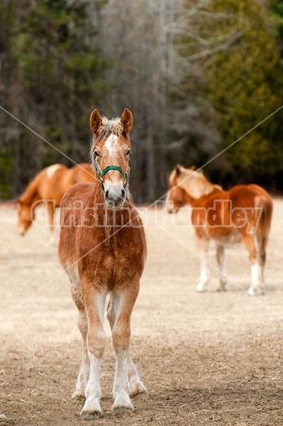 Yearling Belgian Draft Horse