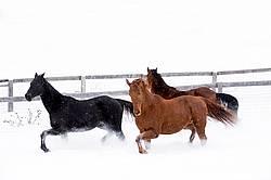 Three horses galloping through snow