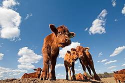 Beef calves standing on top of a dirt hill.