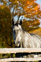 Dappled gray horse looking over rail fence