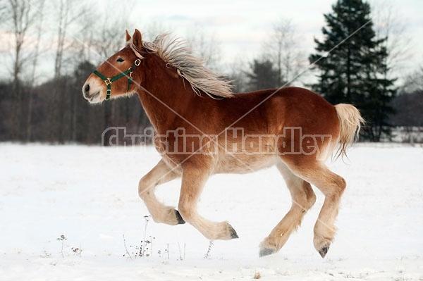 Yearling Belgian draft horse gelding