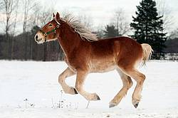 Yearling Belgian draft horse gelding