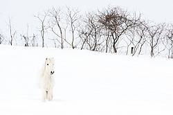 White Icelandic horse in deep snow