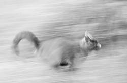 Cat running fast, blurred motion