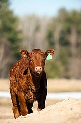 Young Beef calf