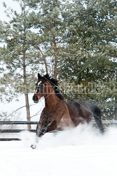 Bay thoroughbred horse galloping through deep snow