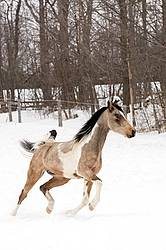 Paint and Arab cross horse running through snow