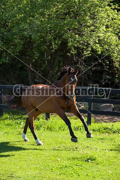 Dutch Warmblood Thoroughbred cross gelding