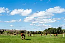 Horses and cows grazing