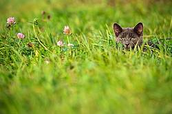 Gray kitten hiding in the tall grass