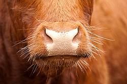 Beef Nose