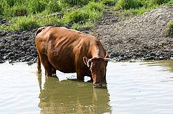 Beef cattle drinking from a farm pond.