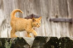 Orange kitten in front of barn.