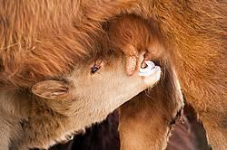 Beef Calf Suckling