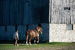 Man driving Belgian draft horse