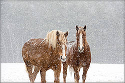 Two Belgian draft horses