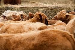Charolais cross beef calves