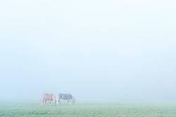 Two Belgian draft horses