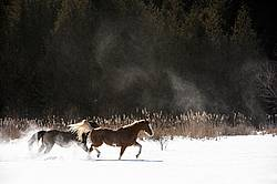 Two horses in deep snow in Ontario Canada