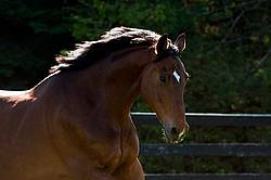 Portrait of a Dutch Warmblood Thoroughbred cross gelding