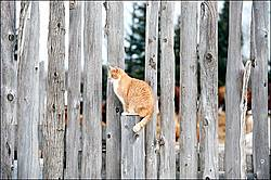 Orange barn cat sitting on fence post