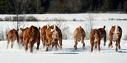 Herd of Beef Calves
